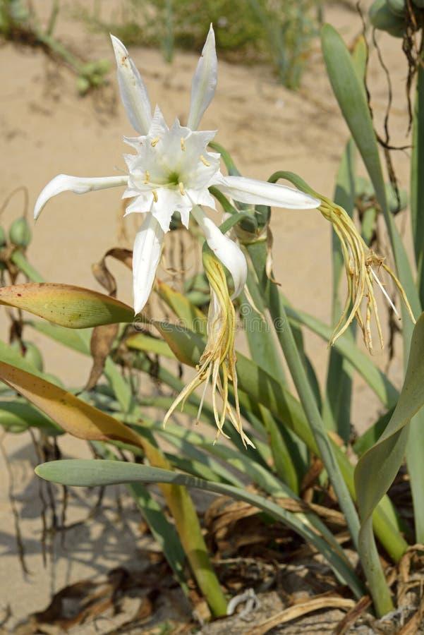 Sand lily stock photos