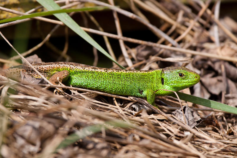 Download Sand Lizard stock image. Image of lacerta, useful, blooded - 27374525