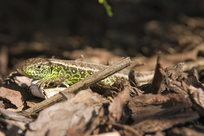 Download Sand lizard 3 stock photo. Image of nature, bark, reptile - 16841502