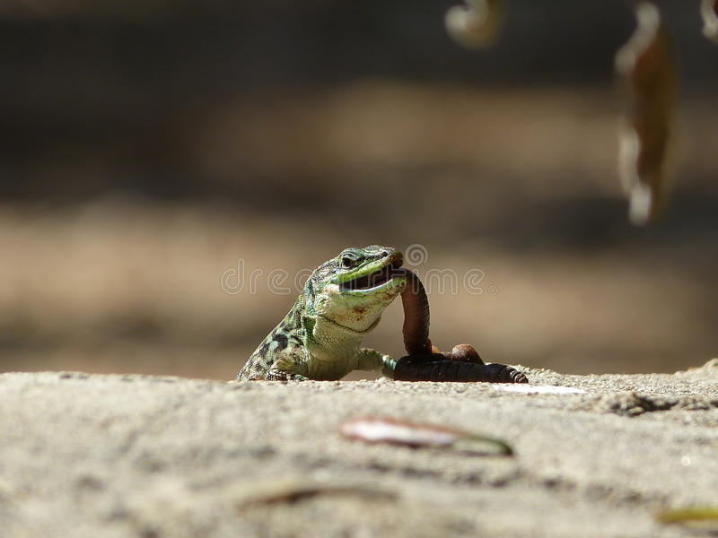 Sand Lizard eats earthworms royalty free stock photography