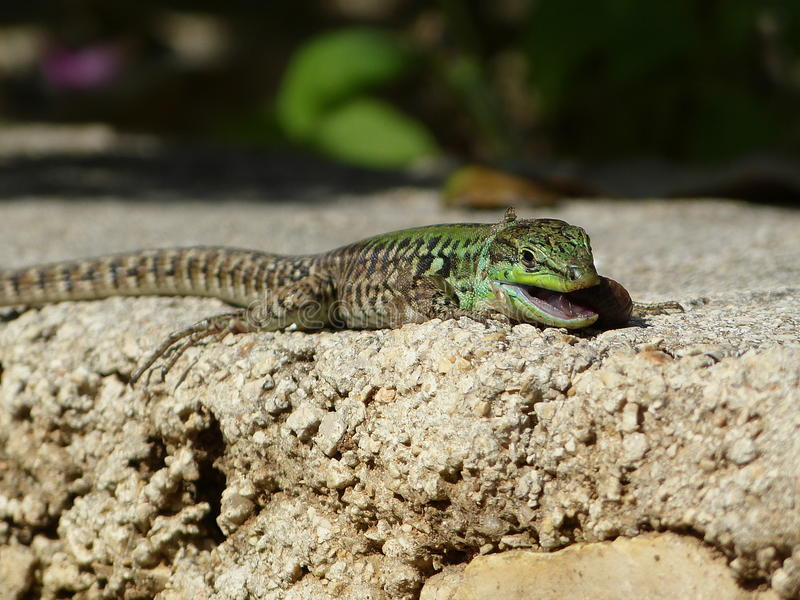Sand Lizard eats earthworms royalty free stock photos