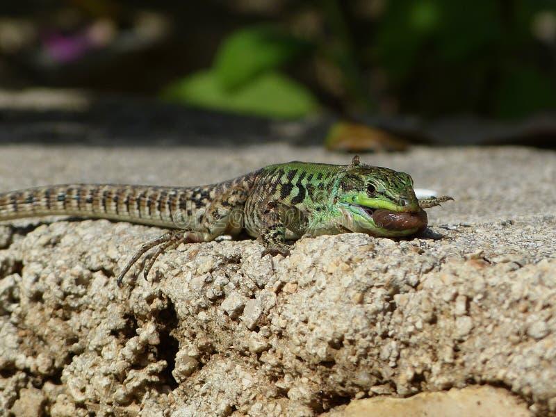 Sand Lizard eats earthworms stock images