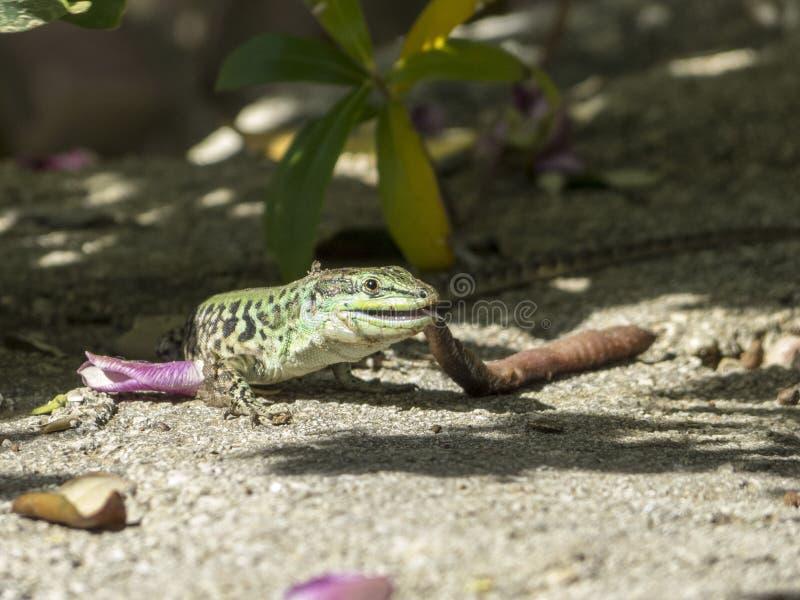 Sand Lizard eats earthworms stock image