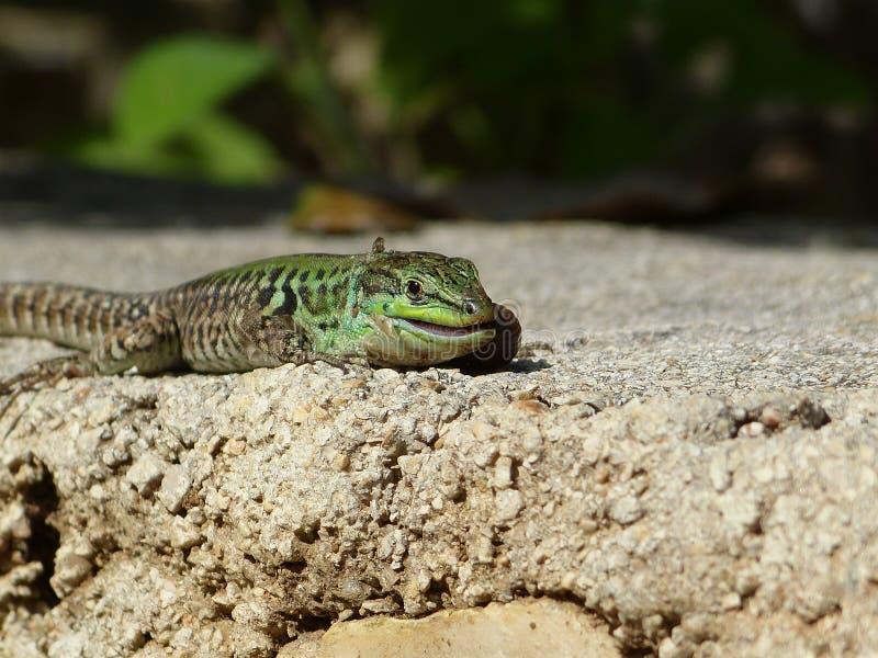Sand Lizard eats earthworms stock photography