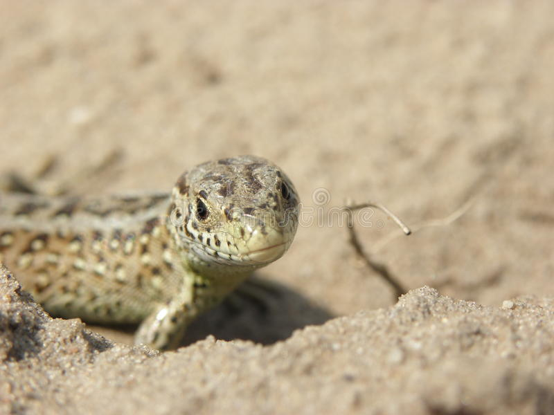 Sand-lizard. A female Sand lizard (Lacerta agilis) staring curiously into the camera. Picture taken in the Hoge Veluwe National Park the Netherlands stock photos