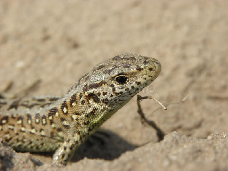 Sand-lizard. A female Sand lizard (Lacerta agilis) staring curiously into the camera. Picture taken in the Hoge Veluwe National Park the Netherlands stock photo