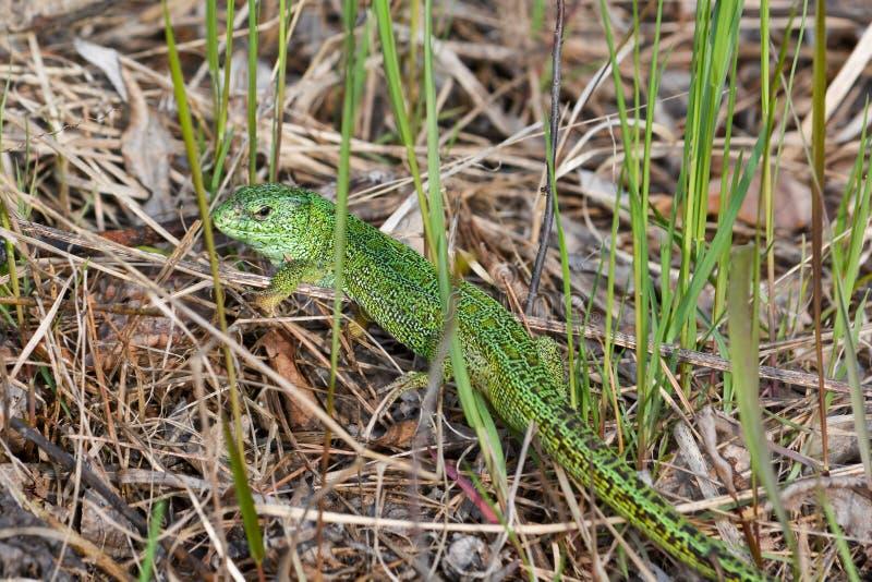 Sand lizard Lacerta agilis. Green lizard in may, national Park Meshchera, Ryazan oblast of Russia royalty free stock photography