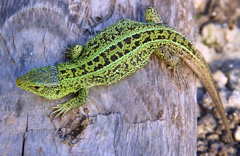 The sand lizard Lacerta agilis. Has a very beautiful pattern similar to a mosaic stock image