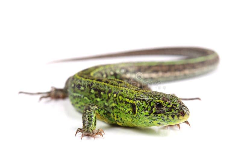 Sand lizard (Lacerta agilis) isolated on white. Background royalty free stock photo