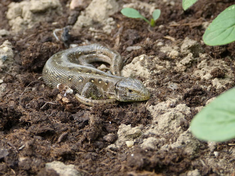 Sand lizard, lacerta agilis stock photography