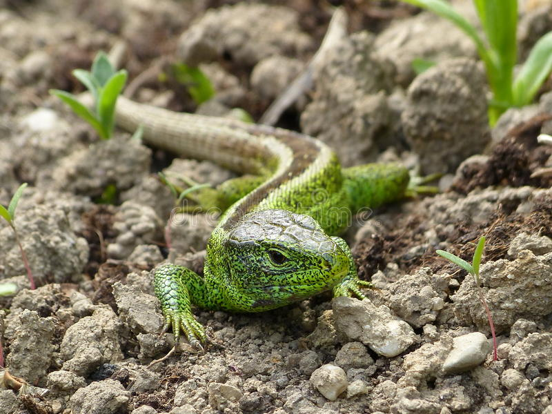 Sand lizard, lacerta agilis royalty free stock photography