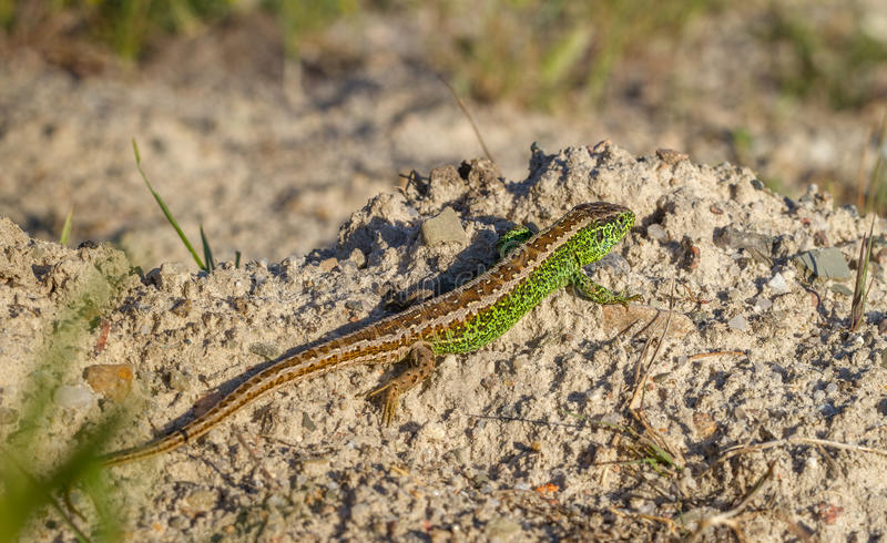 Sand Lizard Lacerta agilis male. Sitting on a rock in Sweden royalty free stock photo