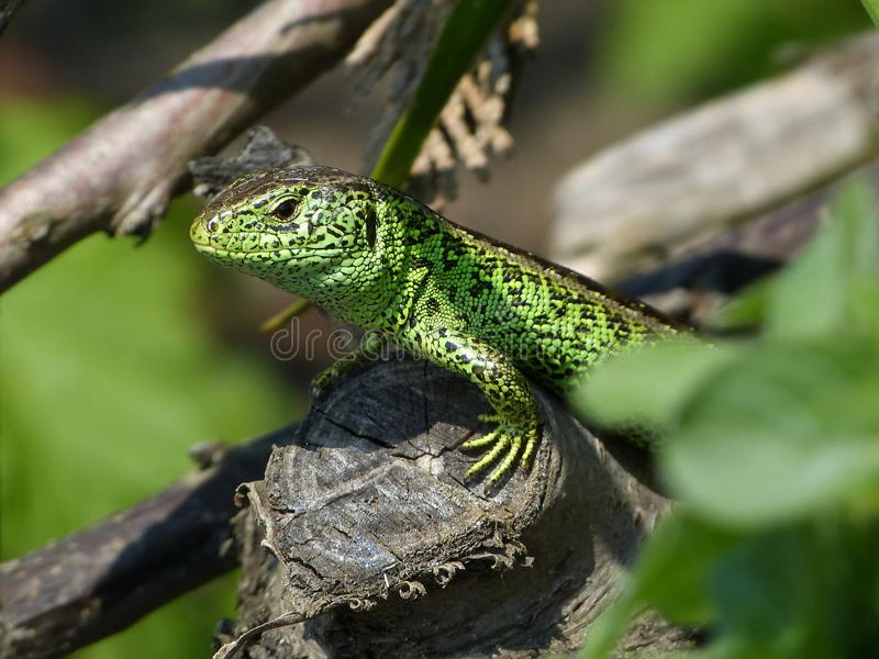 Sand Lizard, Lacerta Agilis, observed royalty free stock images
