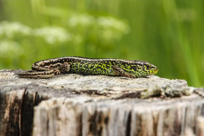 Sand lizard in the sun 2 stock photo