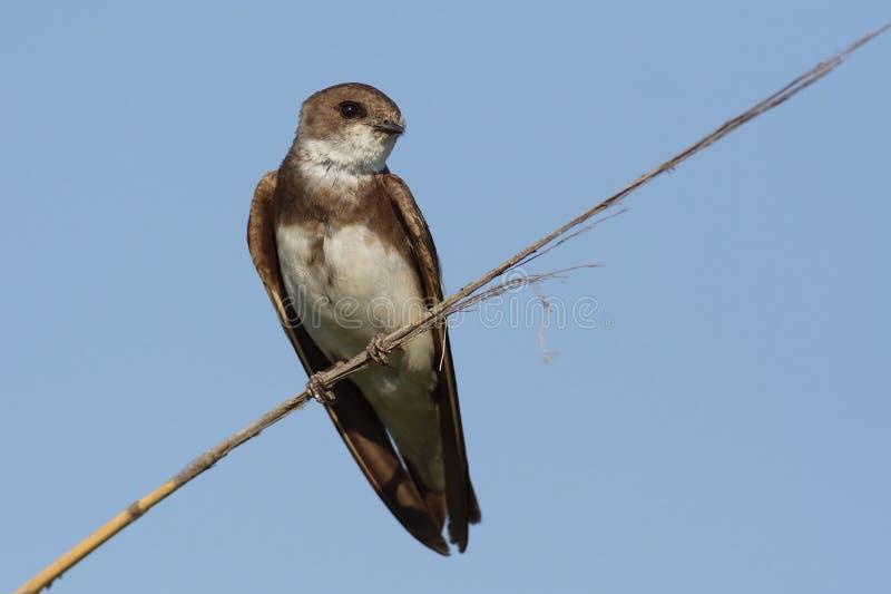 Download Sand Martin stock image. Image of birdwatching, national - 18821271