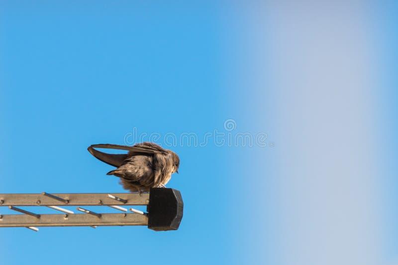 Sand Martin or Riparia riparia. Wild bird in city life. Swallow, nature, animal, hirundinidae, wildlife, bank, passeriformes, habitat, nobody, outdoors stock photo