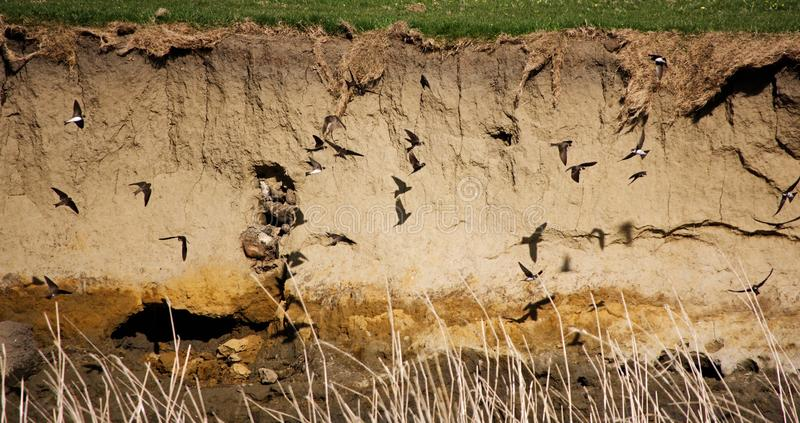 Sand Martins on the riverbank. Newly arrived Sand Martins flying above the river Ribble in Lancashire UK and casting their shadows on the sheer riverbank as royalty free stock photo