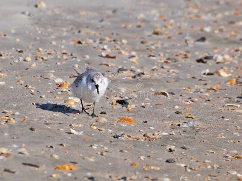 Sand-Pfeifer stockfotos