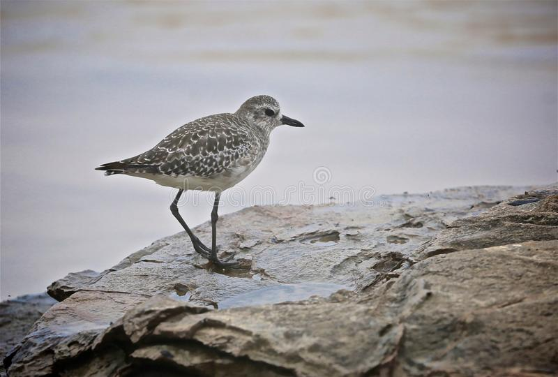 Sand piper bird. Black and white feathered sand piper bird stands on rock on California stock photography