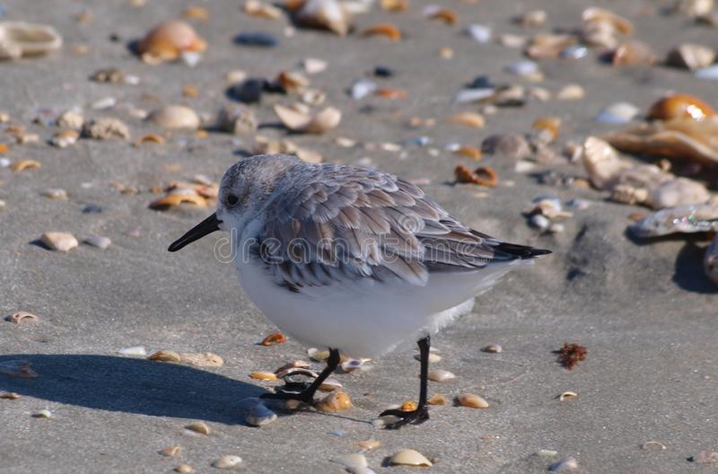 Sand Piper at Myrtle Beach. A sand piper hops among the shells on the shore at Myrtle Beach in South Carolina stock photos