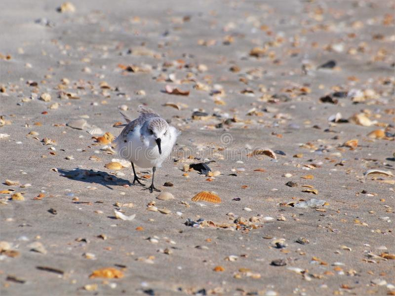 Sand Piper. A sand piper walks among the shells and sand at Myrtle Beach in South Carolina stock photos