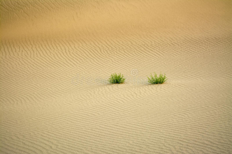 Sand ripple patters and natural plants in the desert. Like the uniqueness of a fingerprint ripples for around bushes royalty free stock images