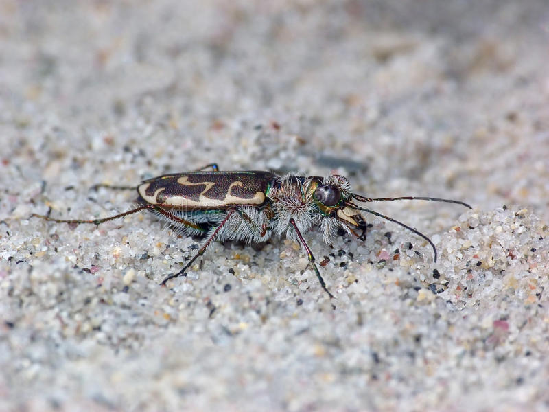 Sand Tiger Beetle stockfotos