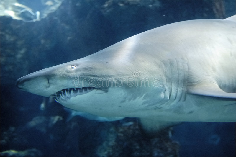 Download Sand Tiger Shark stock photo. Image of melanopterus, underwater - 2428058