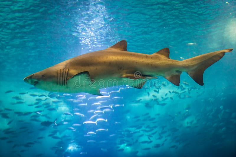 Sand Tiger Shark stockfotografie