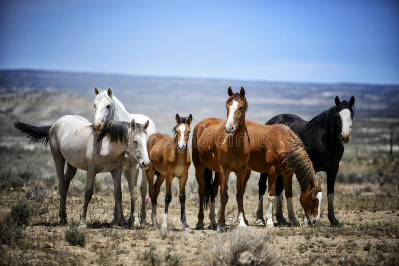 Sand Wash Basin wild horse band portrait. Portrait of a band of wild horses in the Colorado desert. Wild horses, or mustangs, at the Sand Wash Basin in northwest royalty free stock photo