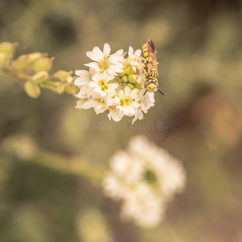 Download Sand Wasp Sitting On A White Flower Stock Photo - Image of arthropoda, hymenoptera: 72226352