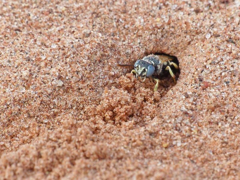 Sand Wasp 1 fotografering för bildbyråer