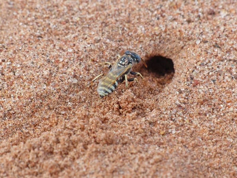 Sand Wasp 3 royaltyfri fotografi