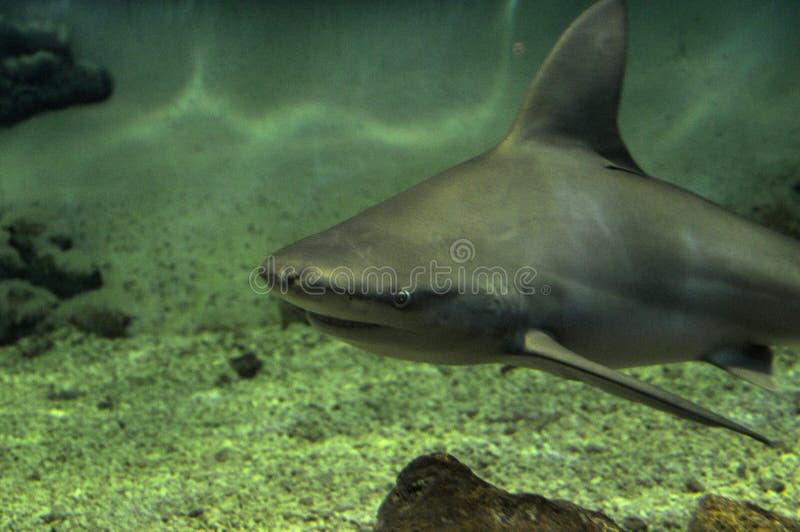 Sandbankhaifisch lizenzfreie stockbilder