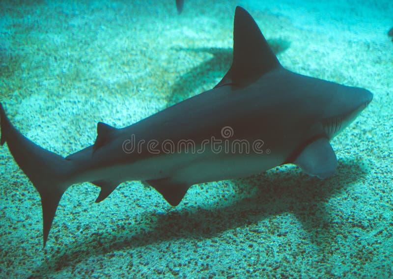 Sandbar haai die in het overzees zwemmen Carcharhinusplumbeus royalty-vrije stock afbeelding