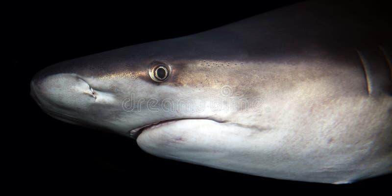 Sandbar haai` s hoofd stock foto