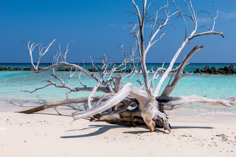 Sandbar. A piece of driftwood found on the white sandy beaches in kuredu stock photography