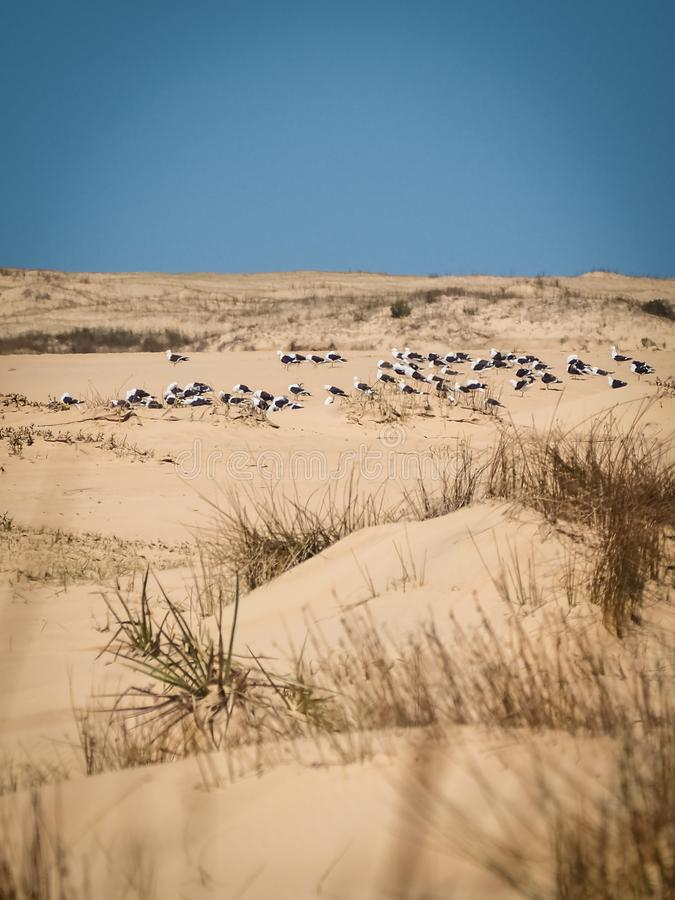 Sanddünen in Cabo Polonio Uruguay, mit dem Seemöwenstillstehen lizenzfreie stockfotografie