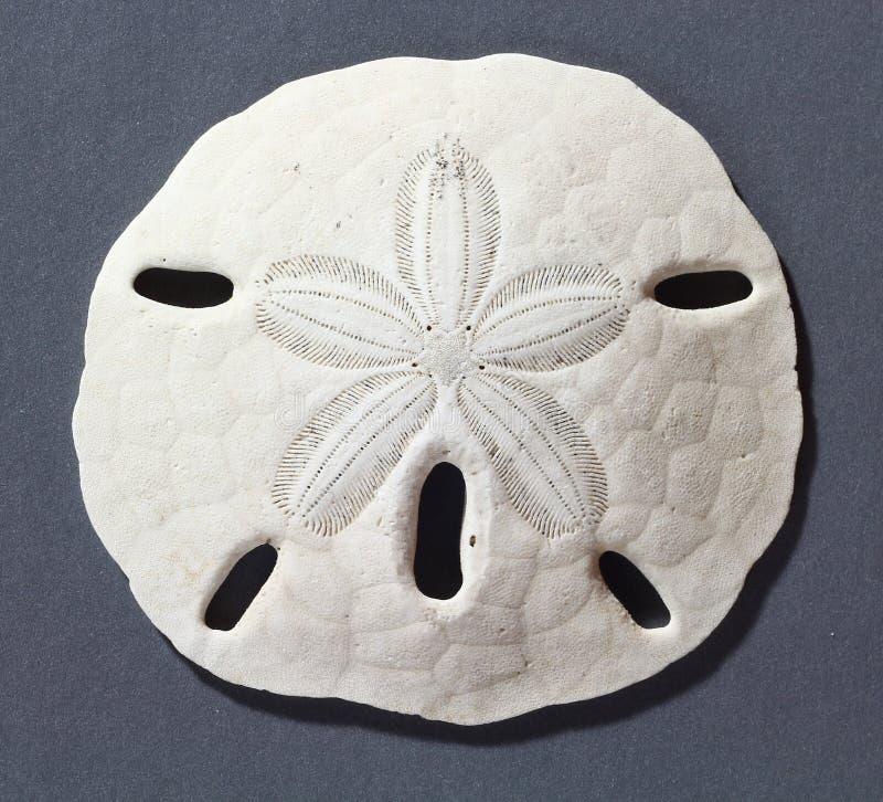 Sanddollar royaltyfri bild