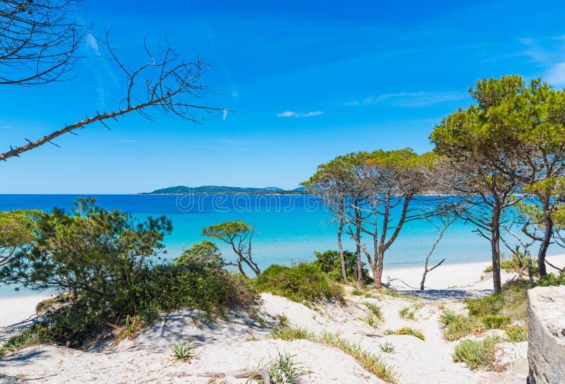 Sanddyn och sörjer träd i den Maria Pia stranden fotografering för bildbyråer