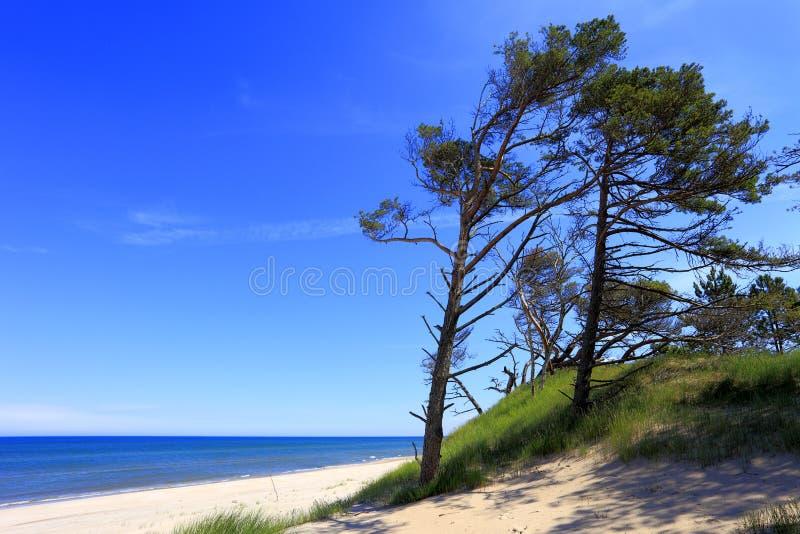 Sanddyn och sörjer träd på en strand längs den Östersjön kusten royaltyfria bilder