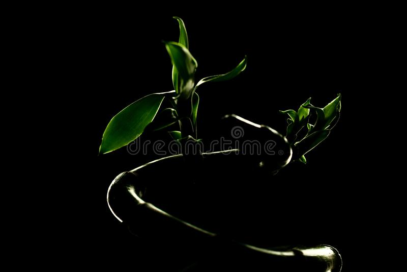 Sanderiana en bambou chanceux de Dracaena d'usine sur le fond foncé images libres de droits