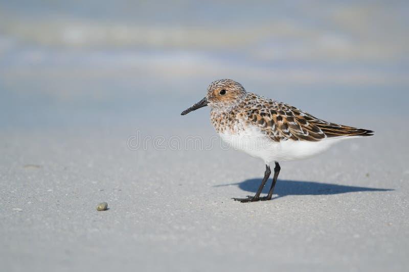 Sanderling στην ακτή παραλιών στοκ εικόνα