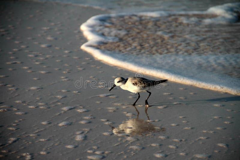 Sanderling royalty-vrije stock foto