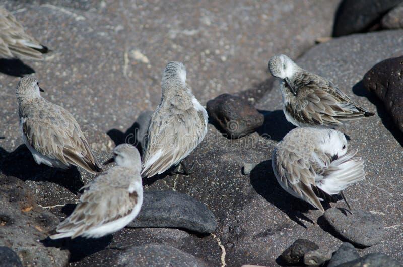Sanderling image stock