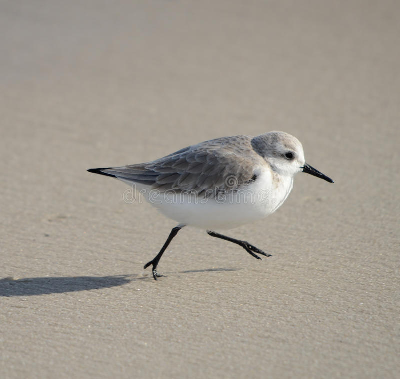 Sanderling photos libres de droits