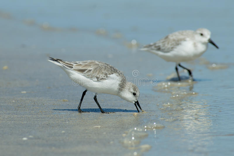 Sanderling images stock