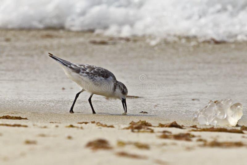 Sanderling photos libres de droits