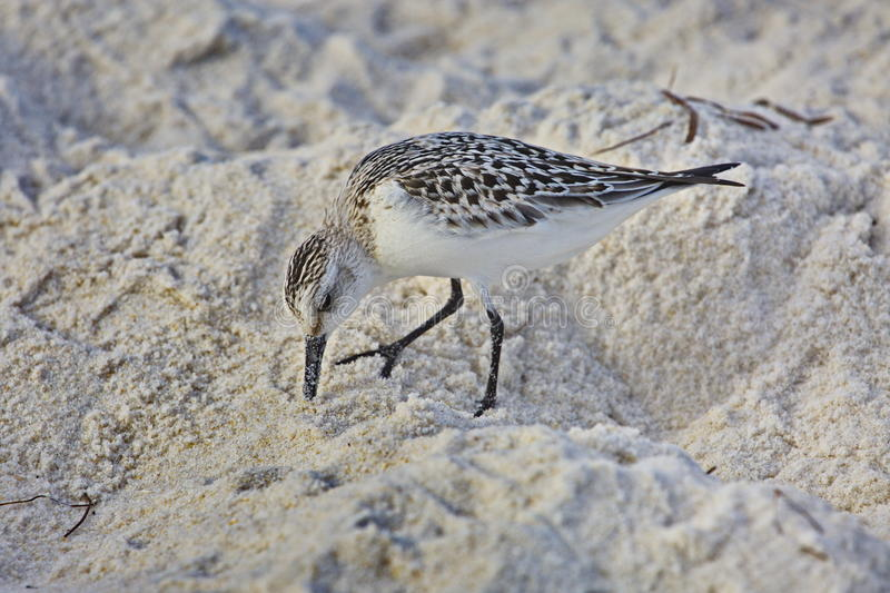 Sanderling image stock