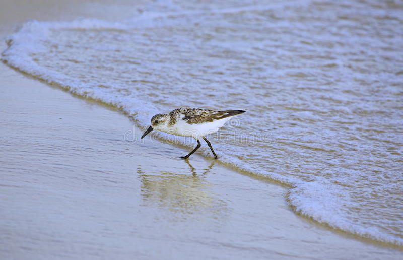 Sanderling photo libre de droits